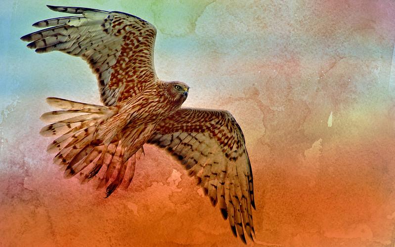 """Marsh Harrier, Northern Tasmania - On Watercolour Wash."""