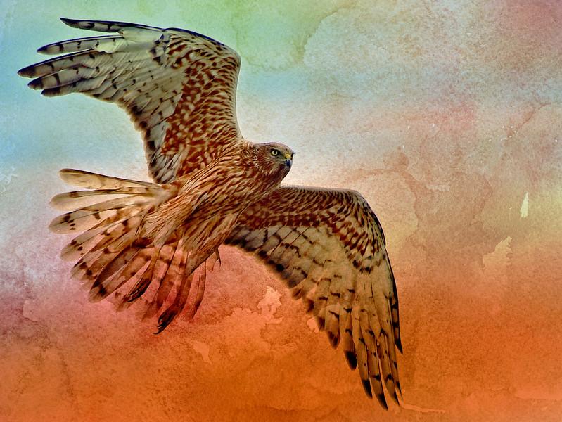 """Marsh Harrier, Northern Tasmania - On Watercolour Wash.""  Cropped."