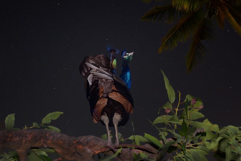 """Do Peacocks Dream of Flying to the Heavens?"""