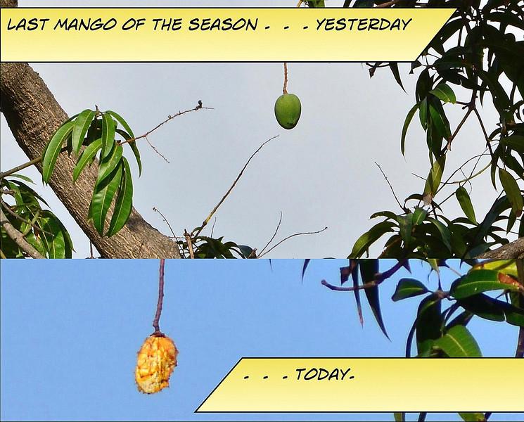Last Mango in Townsville.