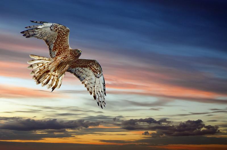 """Harrier Against Evening Sky."""
