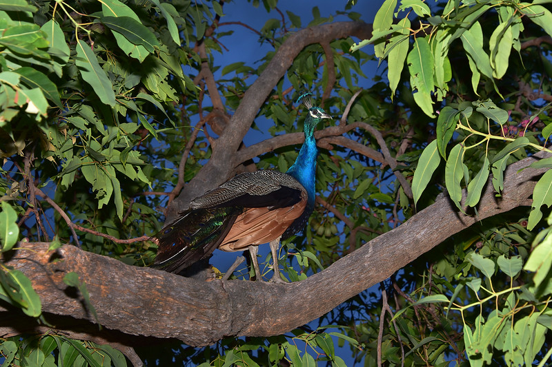 """""""Peacock Roosting for the Night."""""""