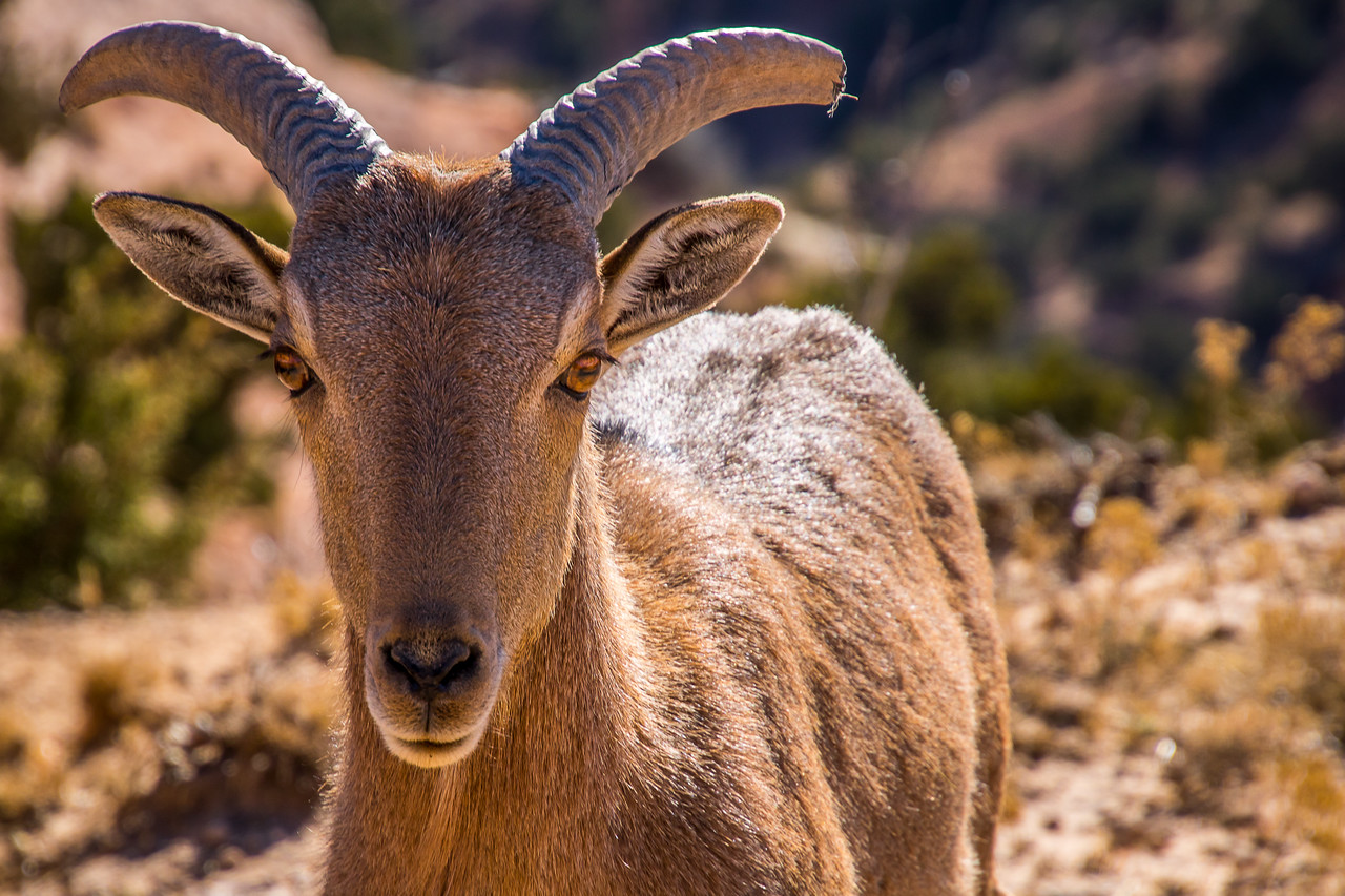 Young Aoudad Sheep