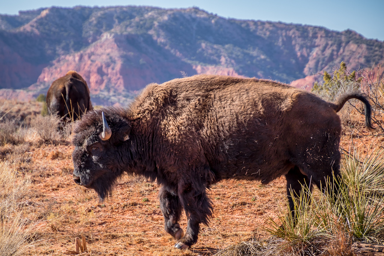 Dusty Bison at Caprock Canyons