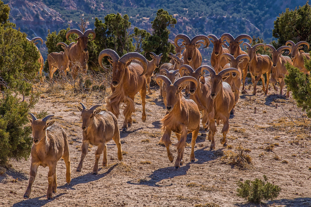 Aoudad Herd, Palo Duro Canyon