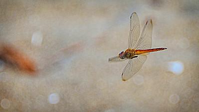 Dragonfly, Broken River, Queensland.