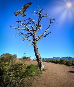 Set to soar on a warm wind, Flinders Ranges, South Australia.