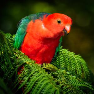 """Male King Parrot, Eudlo, Queensland."""