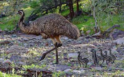 """Old Man Emu and His Chicks."""