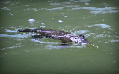Platypus, Broken River, via Eungella, north Queensland