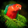 """""""Male King Parrot, Eudlo, Queensland. Impressionist painting."""""""