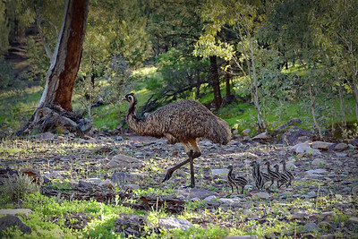 """Old Man Emu and His Chicks."" Uncropped."