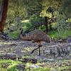 """""""Old Man Emu and His Chicks."""" Uncropped."""