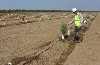 In this August 2018 photo, John Carlon, president of River Partners, examines a plant in the 925 acres of new floodplain his Chico firm restored as part of the J Levee project at Hamilton City. (Steve Schoonover -- Enterprise-Record)