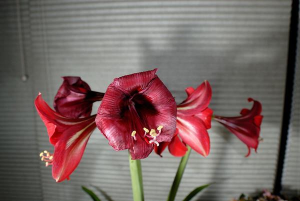 3/4/09 Amaryllis