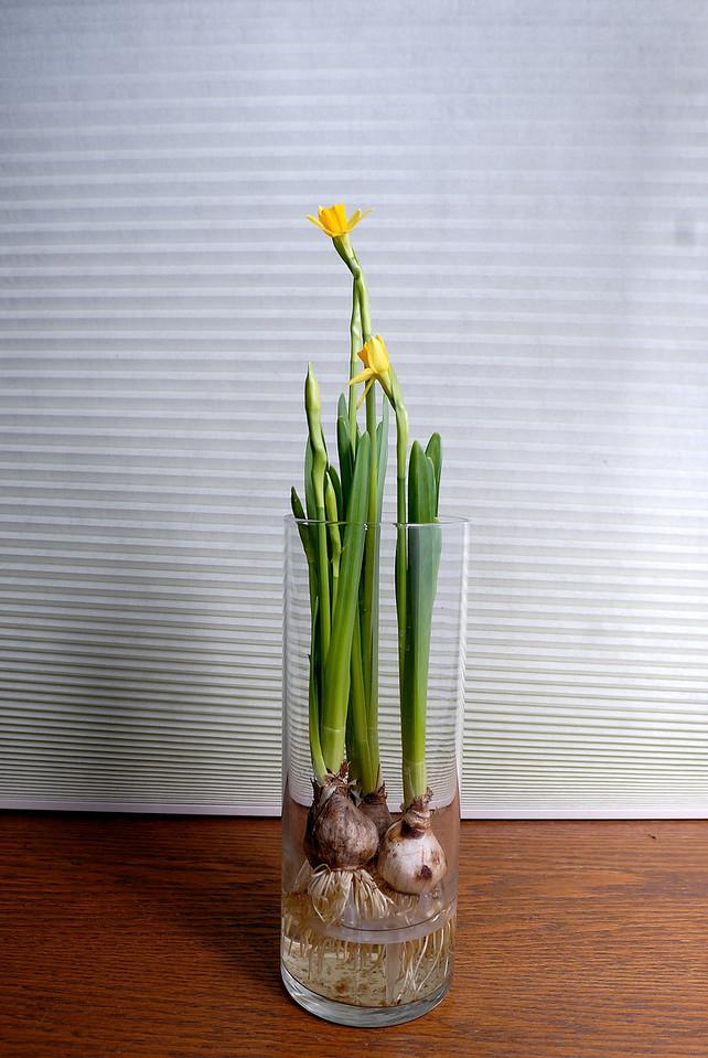 3/8/09 Mommy's Daffodils