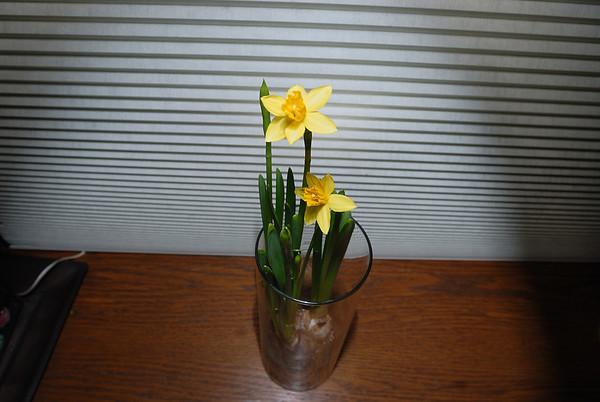 3/9/09 Mommy's Daffodils