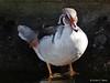 Silver Wood Duck