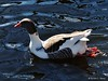 Saddleback Pomeranian Goose