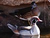 Silver Wood Duck, Wood Duck (female)