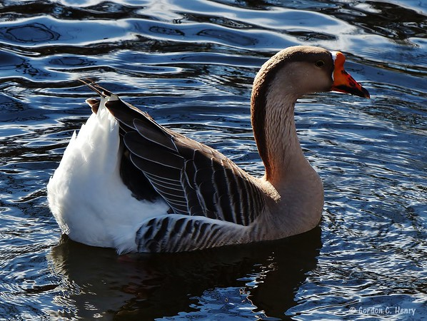 Chinese Goose or African Goose