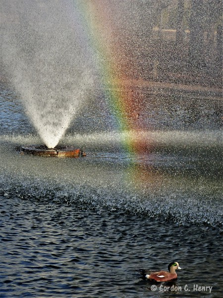 American wigeon at the end of a rainbow