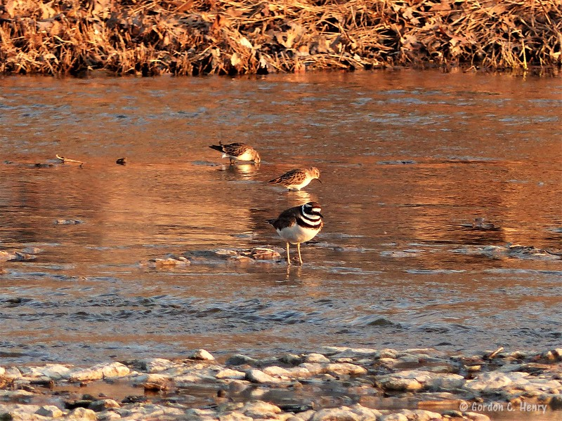 killdeer and least sandpipers