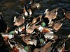 northern shovelers, American wigeons