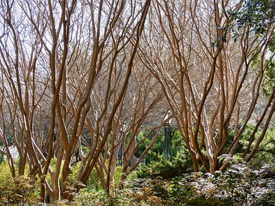 crape myrtles in winter