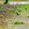 Bruntrast[2] (Turdus eunomus), Dusky Thrush