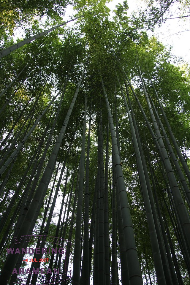 A small part of the massive stand of bamboo for which he Hokokuji Temple is known
