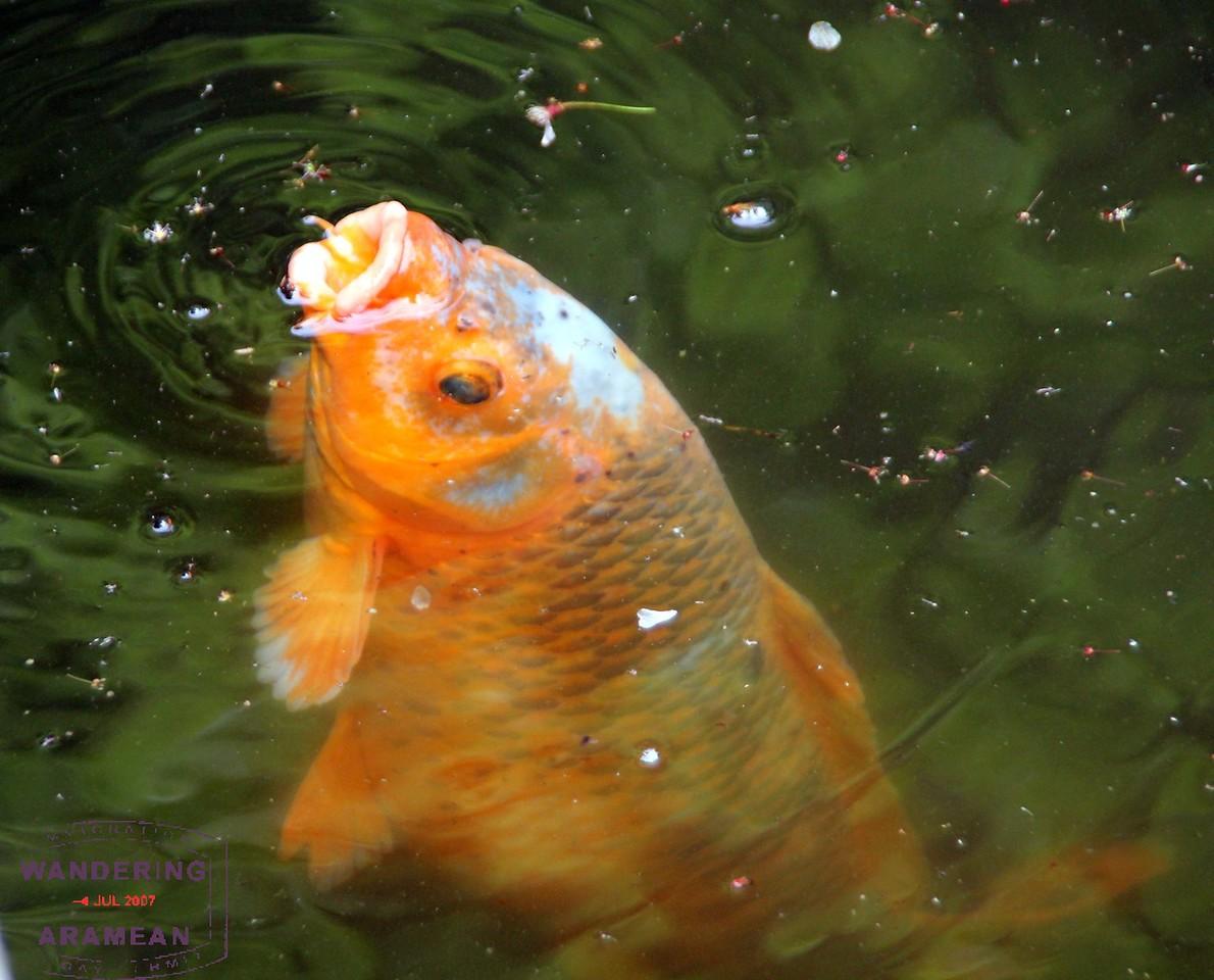 Fish enjoying their home at the Hase-dera shrine