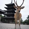 Antlers. Nara.