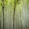 Ashamira. Bamboo.