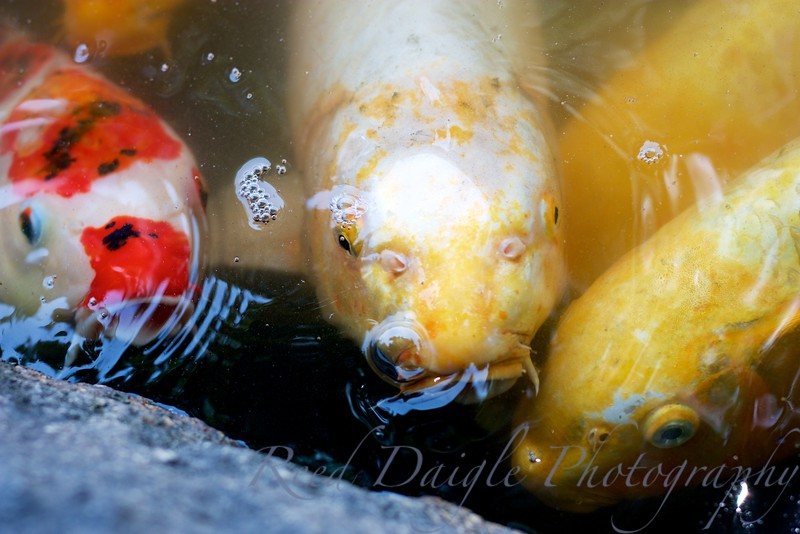 Three Koi searching for food