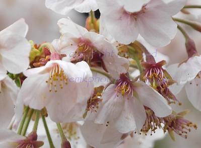 Japan 2016 Sakura
