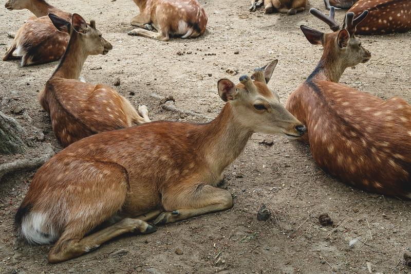The bowing deer of Nara, Japan.