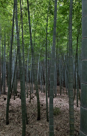 Bamboo 'woods'