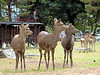 Deer are considered messengers of the gods in Shinto: hundreds freely roam the park
