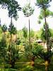 Oddly pruned pines