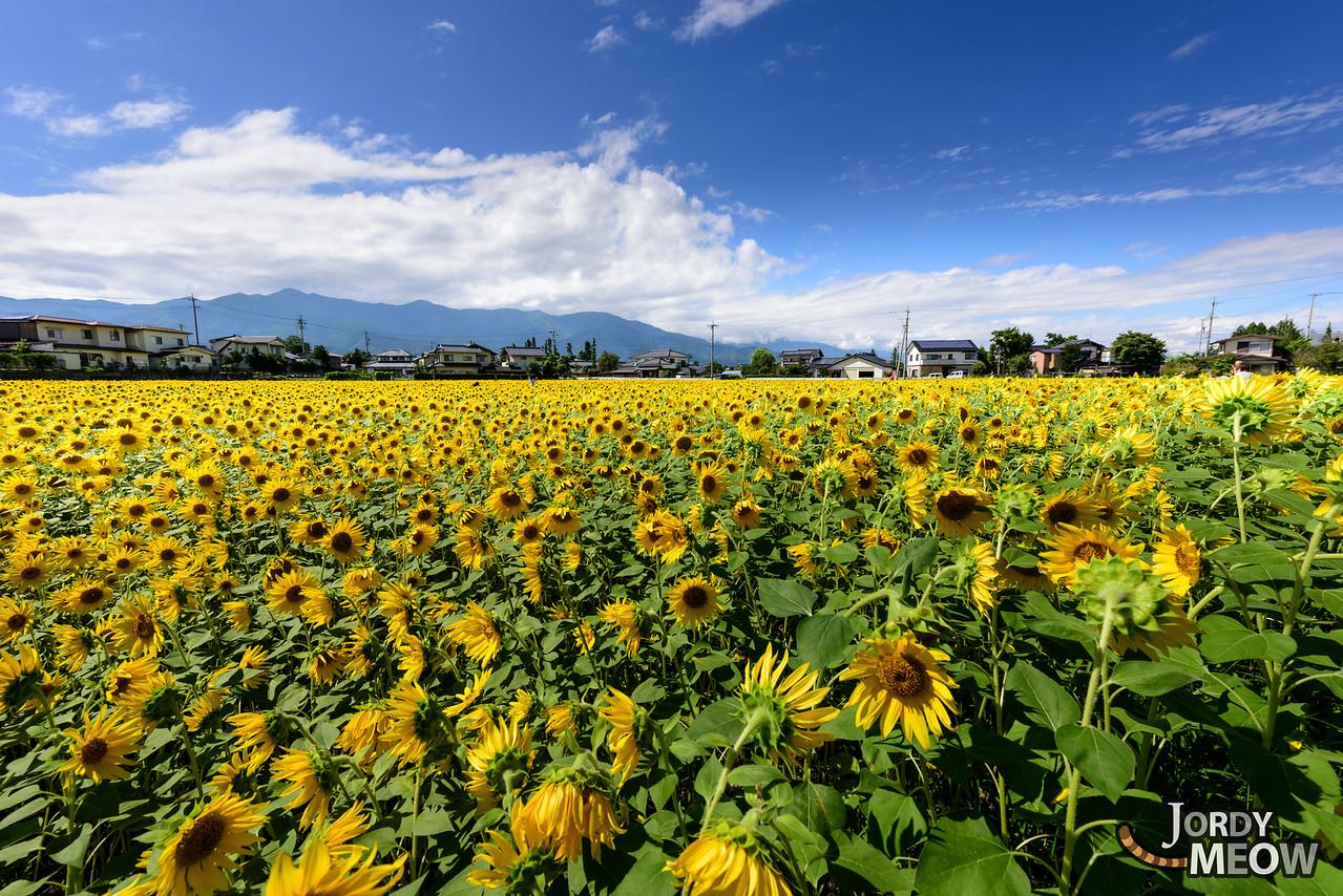 Sunflowers in Azumino