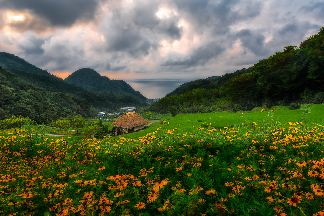 Sunflowers of Izu