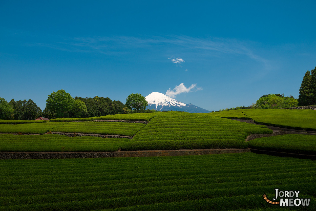 Tea Fields at Mount Fuji