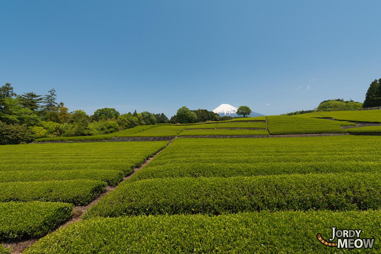 Tea Fields at Mount Fuji