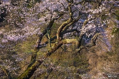 Komatsunagi Sakura (駒つなぎの桜)