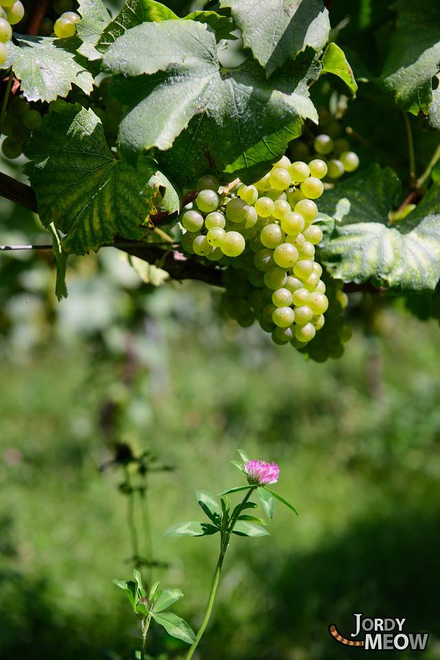 Wineyards in Azumino
