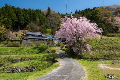 Spring in Haibara