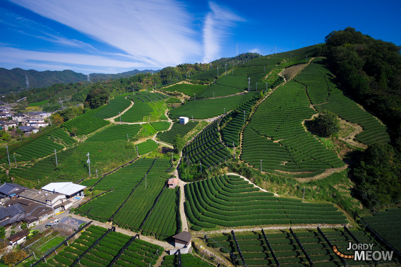 Wazuka Tea Fields