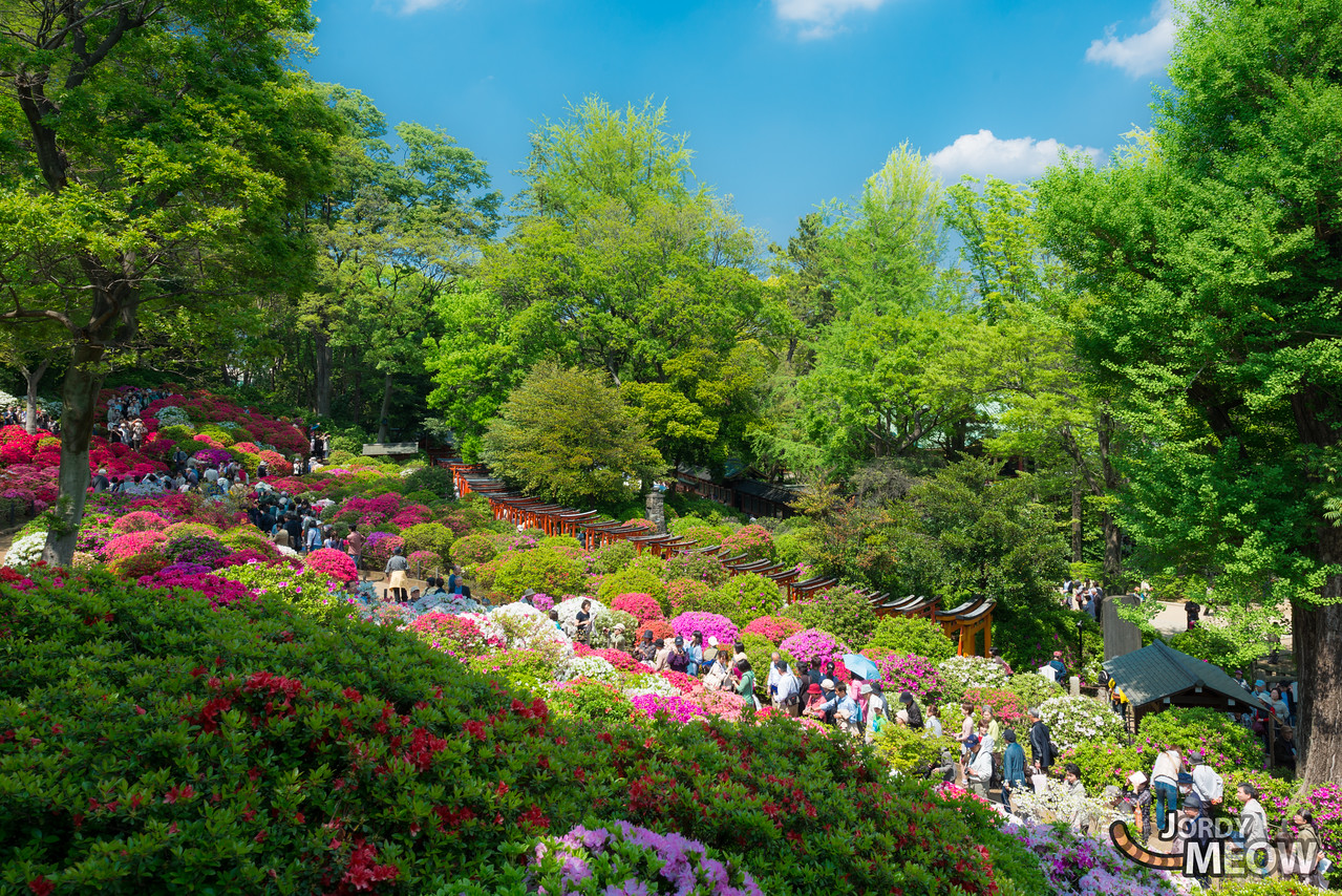The Azalea Festival at the Nezu Shrine. 3,000 azalea plants – roughly 100 varieties in total, including rare breeds such as the black karafune flower.