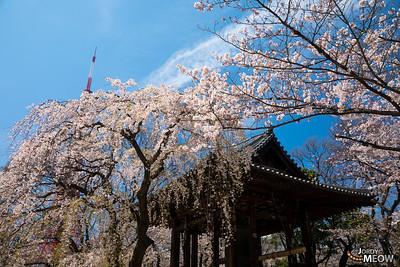 Sakura at Shiba-Koen